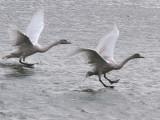 Whooper Swan (juvenile), Barons Haugh RSPB, Clyde
