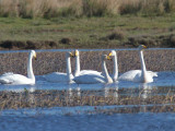 Whooper Swan, Crom Mhin Bay, Clyde