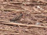 Pin-tailed Whydah (female), Makokou, Gabon