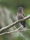Sooty Flycatcher, Makokou, Gabon