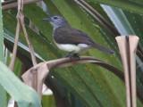 Swamp Bulbul, Libreville, Gabon