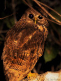Vermiculated Fishing Owl, Mpivie River-Loango NP, Gabon