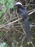 White-crested Hornbill