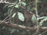White-crested Tiger Heron, Mpivie River-Loango NP, Gabon