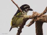 Yellow-rumped Tinkerbird, Leconi, Gabon
