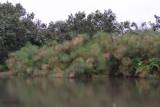 Papyrus reeds - Akaka, Loango NP, Gabon
