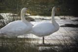 Whooper Swan, Loch Lomond NNR, Clyde