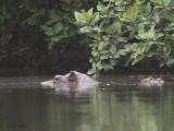 Hippopotamus, Akaka-Longo NP, Gabon