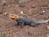 Rock Agama (male), Loango NP, Gabon