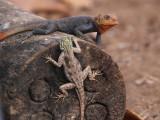 Rock Agama (male & female), Loango NP, Gabon