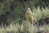 Cameroon Pipit