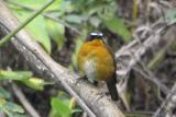 Mountain Robin-chat
