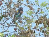 Meyer's Parrot, Shakawe Lodge, Botswana