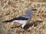 Streseman's Bush Crow