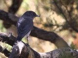 Abyssinian Slaty Flycatcher, Simien Mountains NP