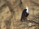 African Fish Eagle, Lake Langano