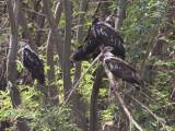 Juvenile African Fish Eagles, Lake Ziway