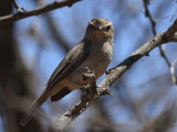 African Grey Flycatcher, near Negele Borena