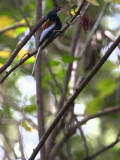 African Paradise Flycatcher (male),  Tana Hotel gardens Bahar Dar