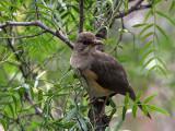 African Thrush, Axum