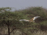 Arabian Bustard, Afar Plains