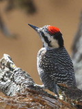 Bearded Woodpecker, Lake Langano