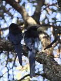 Black-billed Wood-hoopoe, Gondar