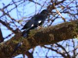 Black-billed Wood-hoopoe