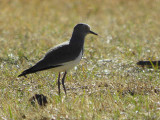 Black-winged Lapwing, Sululta Plains