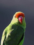 Black-winged Lovebird, Lalibela