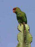 Black-winged Lovebird, Bahir Dar