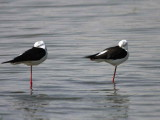 Black-winged Stilt, Lake Ziway
