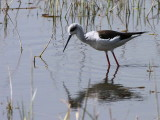 Black-winged Stilt, Lake Awassa