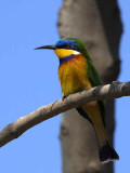 Blue-breasted Bee-eater, Axum