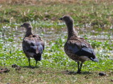 Blue-winged Goose, Sululta Plains
