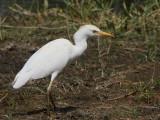 Cattle Egret, Laka Awassa