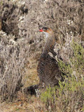 Chestnut-naped Francolin, Bale Mountains NP