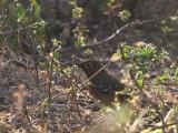 Abyssinian Ground Thrush, Wondo Genet