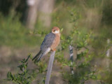 Red-footed Falcon (female), Dalyan, Turkey