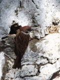 Eurasian Tree Sparrow, Trashigang, Bhutan