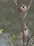 Eurasian Tree Sparrow, Gangtey la, Bhutan