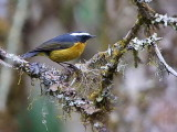 White-browed Bush Robin, Sengor, Bhutan
