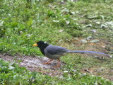 Yellow-billed Blue Magpie, Namling, Bhutan