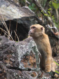 Assam Macaque, Shemgang Road, Bhutan