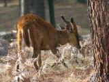 Barking Deer, Thimpu Reserve, Bhutan