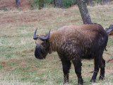 Takin, Thimpu Reserve, Bhutan
