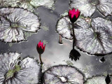 Lotus Flowers and Pads at High Noon