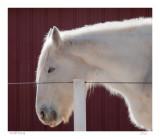 Draft horse
