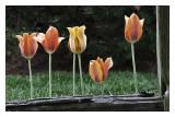 Backlit Tulips.