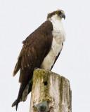 The Fantastic Osprey